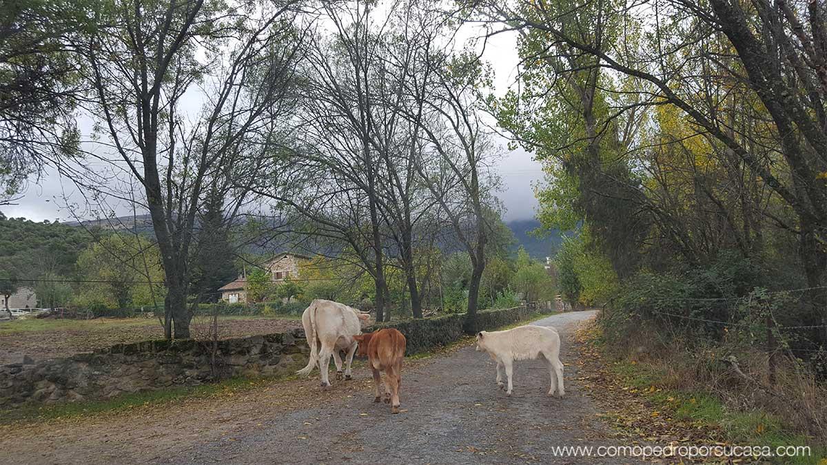 animales-sueltos-en-valle-iruelas-avila