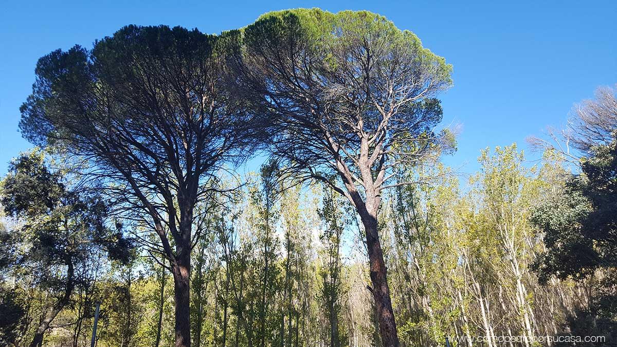 el pinar de escalona rio alberche